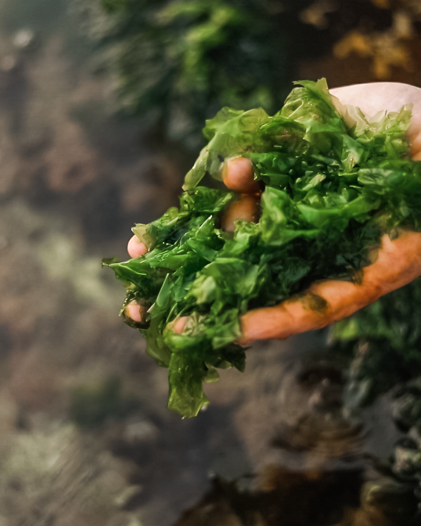 SEA LETTUCE  Location: Foraged from Curl Curl BeachSea Lettuce is a algae that grows on the rock shelves, which makes it an incredibly dangerous botanical to forage (our team have the scars to prove it!).  We only collect what we need, and a little bit goes a long way as its important to balance the beautiful umami, oceanic character that sea lettuce brings to our spirits.
